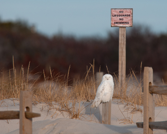 Snowy Owl at Island State Beach Park